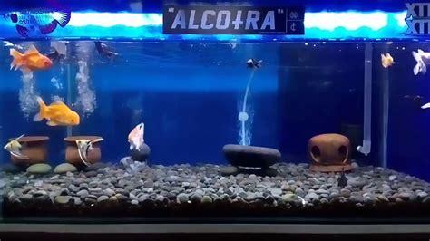 Desain Aquarium Minimalis | desain minimalis aquarium mas koki manfish youtube