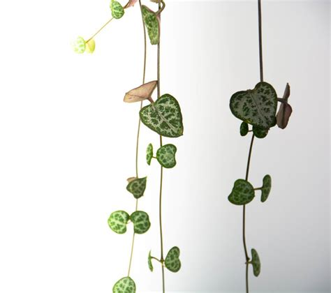 How To Make A Chain Of Hearts Out Of Paper - chain of hearts plant in black pedestal pot plantandpot nz