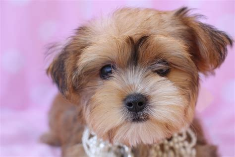 what is a morkie puppy teacup morkie adults www imgkid the image kid has it
