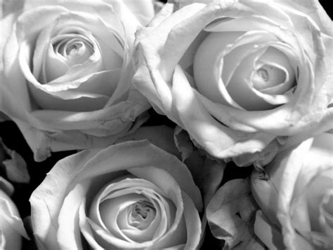 wallpaper black and white roses white roses backgrounds wallpaper cave