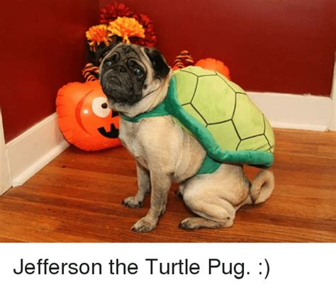 pug turtle jefferson the turtle pug meme on sizzle