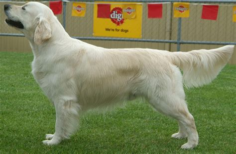 grooming golden retriever golden retriever grooming needs dogs our friends photo