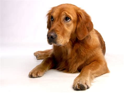 golden retriever home golden retriever dogclub der hunde