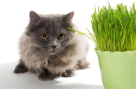 minicuentos de gatos y qu 233 hacer si tu gato persa pierde mucho pelo decogarden