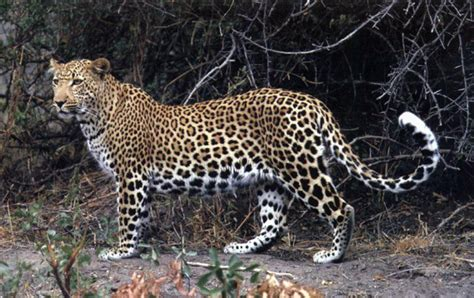 Jaguars Standing Leopard Hair Found In Britain History
