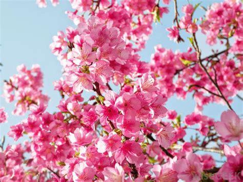 Wallpaper Bunga Sakura Di Jepang | 20 gambar bunga sakura di jepang ayeey com