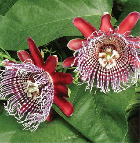 passiflora x decaisneana buy it now