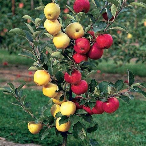 Royal Garden Gold Scrub pin de marziyeh sedaghat en fruits en 2018