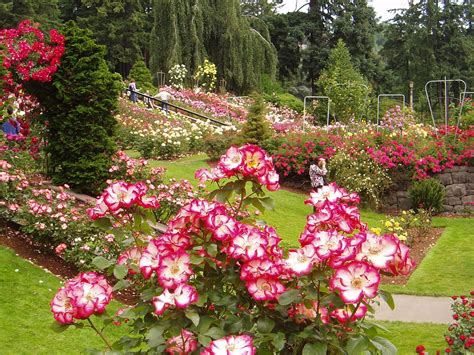 portland images portland rose garden hd wallpaper and background photos 692412