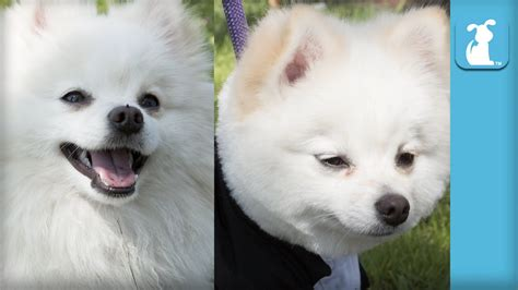 boo haircut pomeranian fluffy pomeranian gets boo haircut the of pets