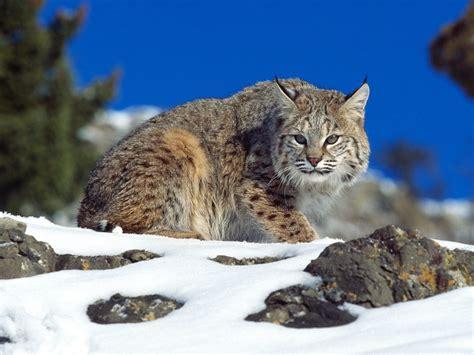 Bobcats | Wildlife Amazing Facts & Photos | The Wildlife