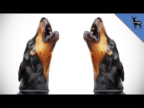 why do dogs howl at sirens wolf hybrids howl at sirens