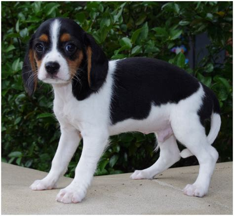 beaglier puppies beaglier facts pictures puppies breeders shedding information animals adda