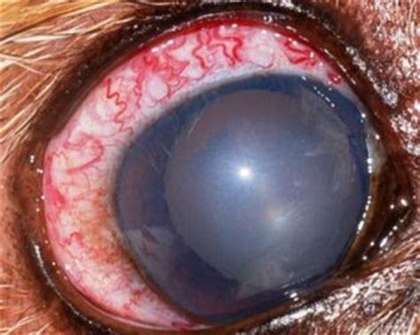 glaucoma alimentazione il glaucoma nel e nel gatto 171 alessandro prota medico
