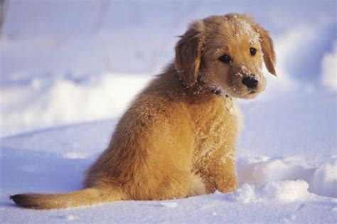 golden retriever alliance tiere und familie welcher hund passt zu uns die welt
