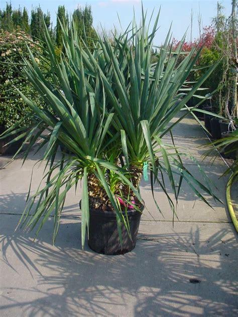 grosse pflanzentöpfe exotische pflanzen fragen bilder pflanz und