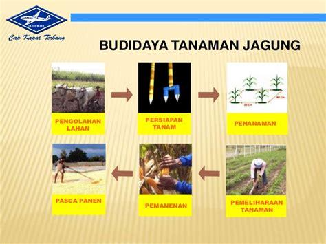 Bibit Jagung Hibrida Bisi 2 presentasi budidaya jagung bisi 12