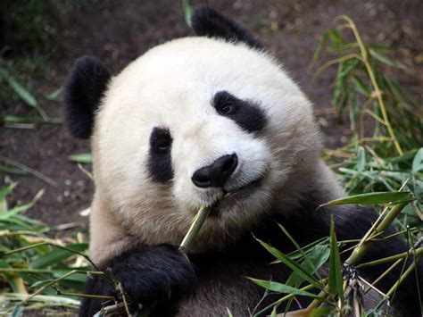 extinct mammals related keywords suggestions extinct mammals long panda endangered species education related keywords
