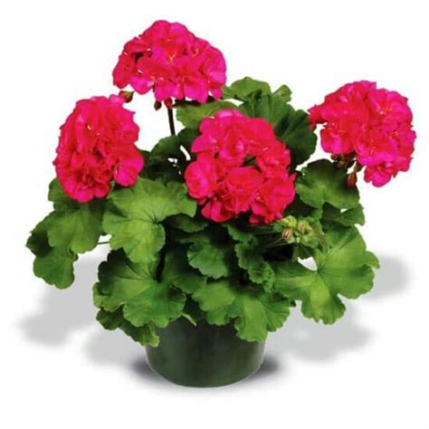 gambar tanaman hias geranium cat rumah minimalis