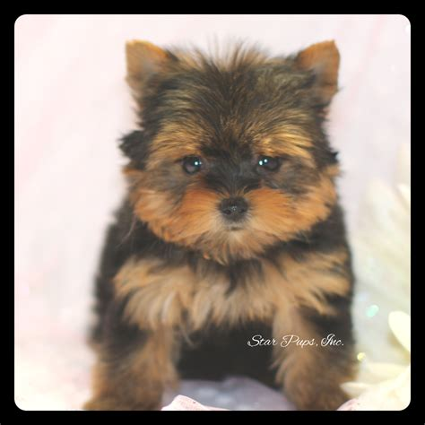 black yorkie terrier terrier f black sold pups