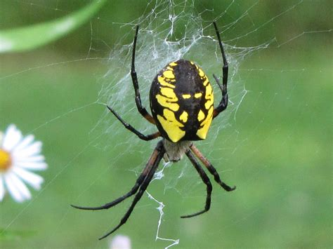 spider with yellow pattern on back 5 interesting facts about black and yellow garden spiders