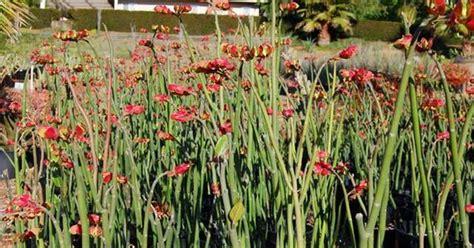 slipper plants for sale pedilanthus bracteatus aka slipper plant for sale direct