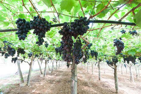 uva nera da tavola uva nera da tavola frudis