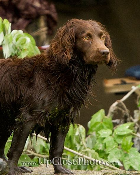 Cocker Spaniel Shedding Season by 17 Best Images About Boykin Spaniel On Poodles