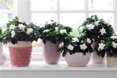 growing gardenias indoors valuable tips