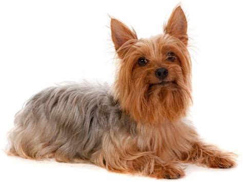 yorkie silky puppies pin silky terrier puppies yorkie look without the cost in peterborough on