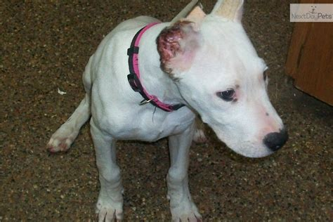dogo argentino puppy price puppy dogo argentino prices breeds picture