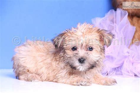 yorkie coton yorkiepoo yorkie poo puppy for sale near columbus ohio fefd2d38 0611