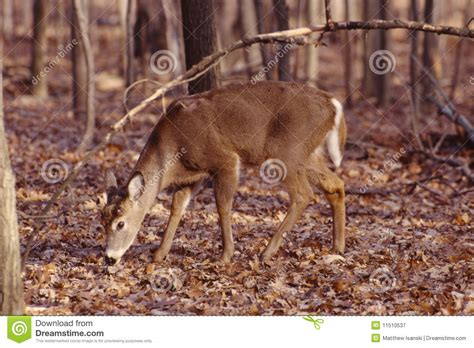 Whitetail Shed by Whitetail Buck Antlers Shed Royalty Free Stock Photography