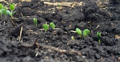 Planting Soybeans With Corn Planter by Benefits Of Early Soybean Planting Corn And Soybean Digest