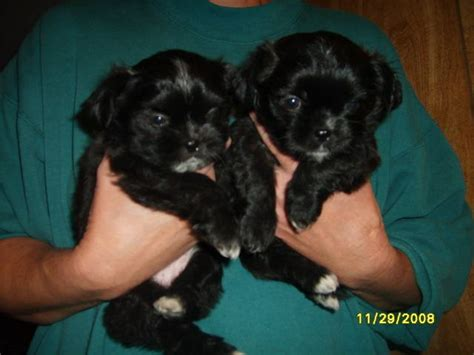 shichi puppies for sale poochon quotes