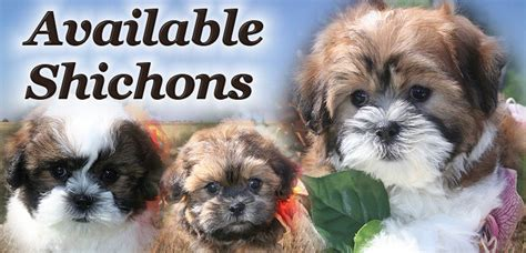 shichon puppies available adorable shichon puppies or teddy puppies for sale