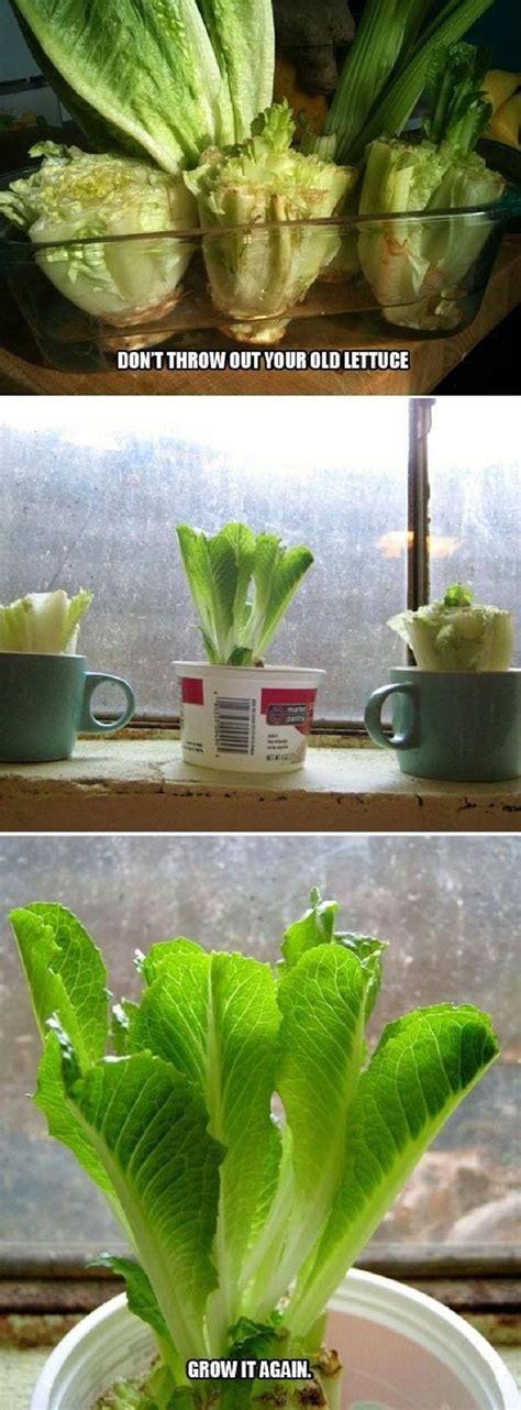 Top 10 Foods You Can Regrow From Kitchen Scraps Vegetable Scraps In Garden
