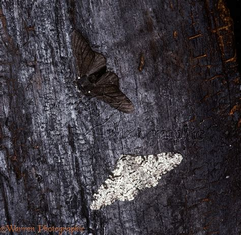 Peppered Moth peppered moths photo wp16957