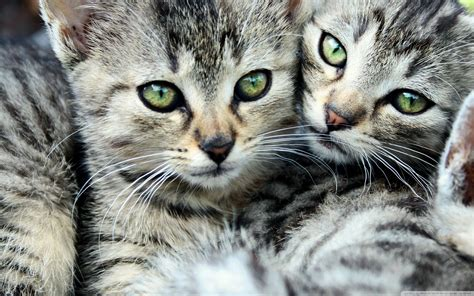wallpaper of cat family cat s family wallpapers and images wallpapers pictures