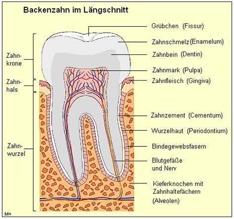 Beschriftung Zahn by Medizinfo 174 Zahnmedizin Aufbau Der Z 228 Hne