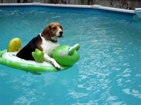 j matthews rottweilers baby the beagle baby baby bab doovi