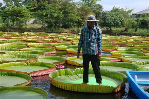 amazon thailand giant victoria lilies in phitsanulok northern thailand