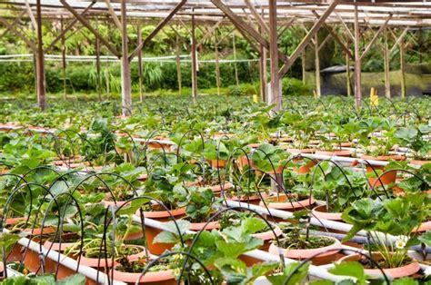 berbagai macam tanaman buah  pot  bisa  tanam