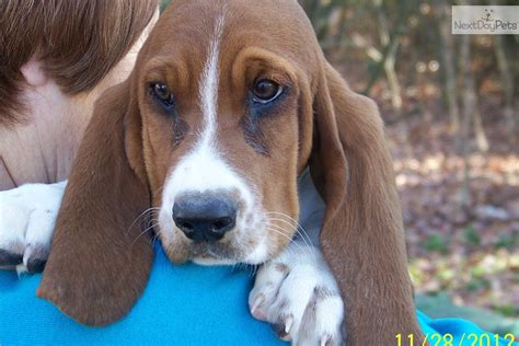 basset hound puppies missouri basset hound puppy for sale near southeast missouri missouri f4467985 4761