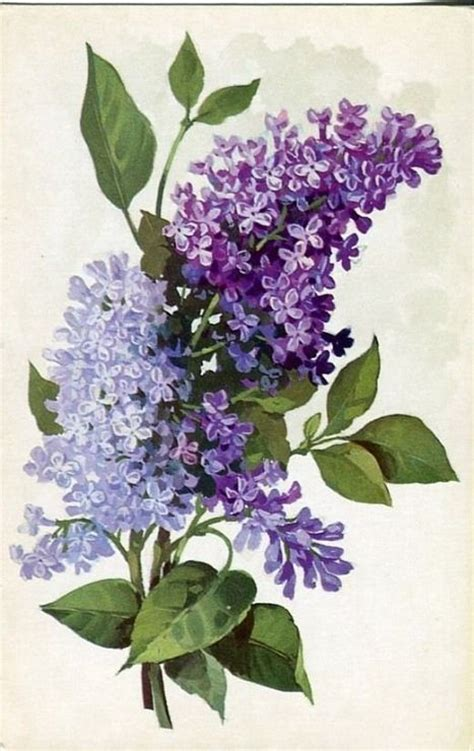lilac flower meaning 25 best ideas about lilacs on lilac plant lilac flowers and syringa vulgaris