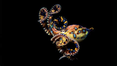 Picture Of A Blue Ring by Animal Guide Blue Ringed Octopus Nature Pbs