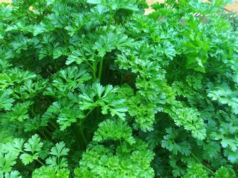 wannabeahippy herb of the month parsley