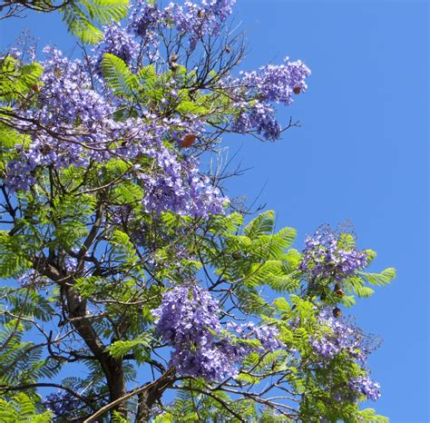 trees with purple flowers lacitypix