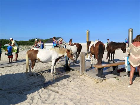 pony island picture7 assateague island to debut horse identifying app