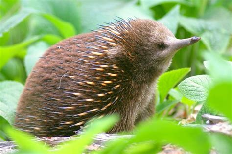 Gifts For A New Home by Short Beaked Echidna Bush Heritage Australia